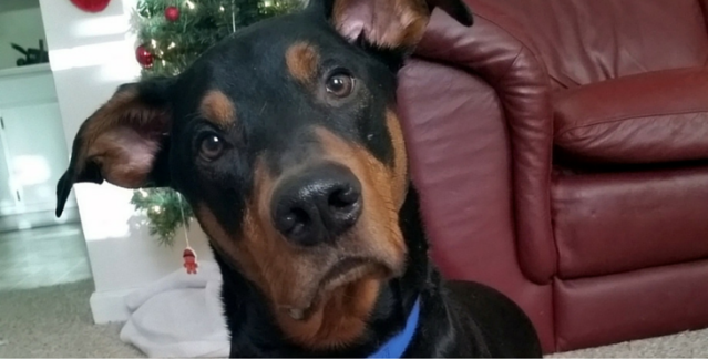 doberman-pinscher-mixes-68.png